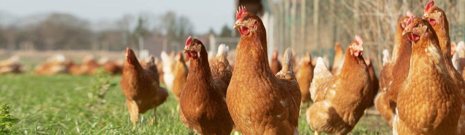Ferme Pflieger - Élevage de volailles à Spechbach-le-Bas