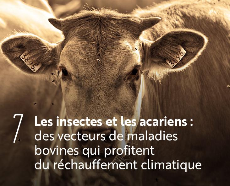 Les insectes et les acariens des vecteurs de maladies bovines qui profitent du réchauffement climatique